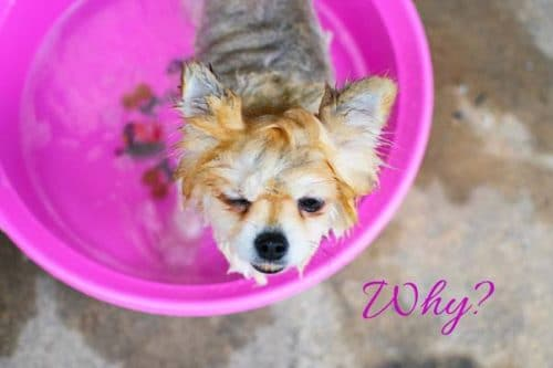 small dog being washed in pink bucket with caption why