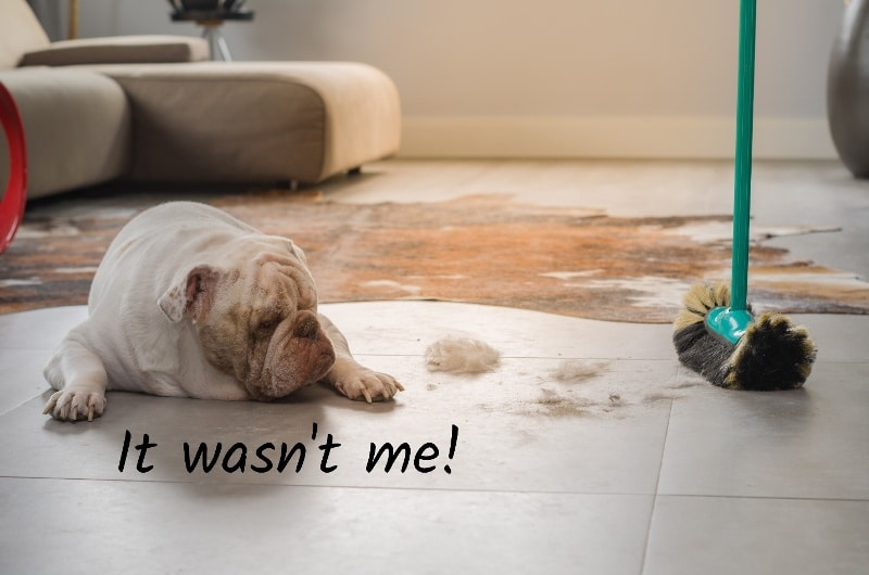 A bulldog lying on light-coloured tiles looking at dirt on the floor with the caption it wasn't me. A green broom is next to the dirt. In the background is a couch and an animal skin on the tiles