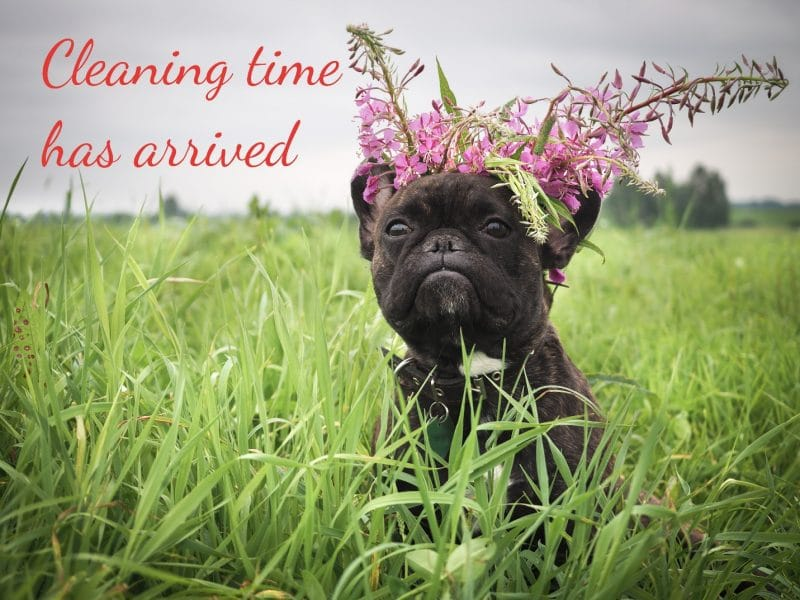 A dark brown pug puppy with pink flowers on its head. The dog is standing in very deep grass up to its shoulders. The caption reads Cleaning time has arrived