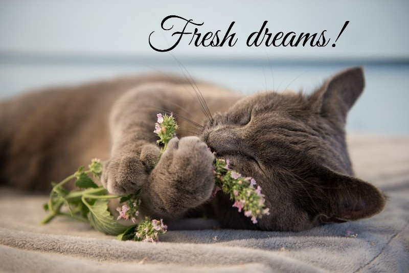 A grey cat lying on its side on a cushion. Its eyes are closed and it is holding some flowers up to its nose. The caption is Fresh dreams