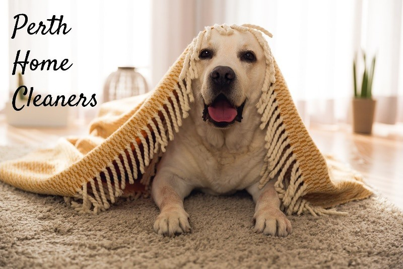 A labrador lying under a tasselled rug on a carpet. The rug is like an old-school veil. The labrador is looking at the camera and has its mouth open panting. The caption reads Perth Home Cleaners