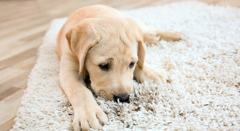 labrador puppy smelling shaggy rug