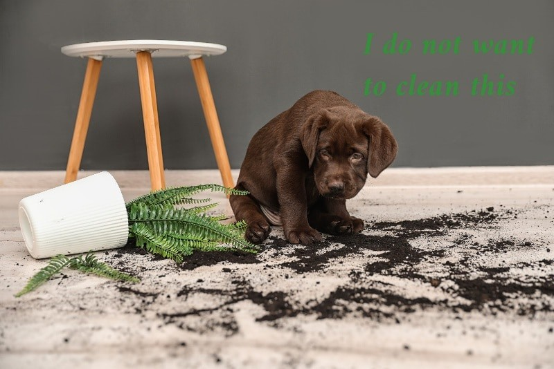 A brown puppy seems sad that it has knocked a potted fern off a table and spilled dark brown potting mix all over the cream carpet. The caption is I do not want to clean this.