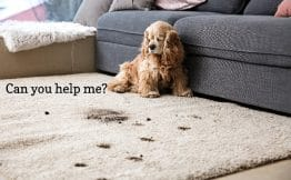 spaniel puppy looking at the muddy paw prints it made on a cream-coloured rug with a thought bubble that says can you help me. Behind the spaniel is a grey couch with several cushions.