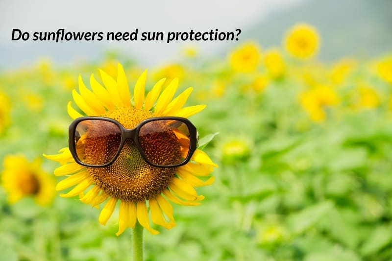 sunflower wearing sunglasses, captioned do sunflowers need sun protection